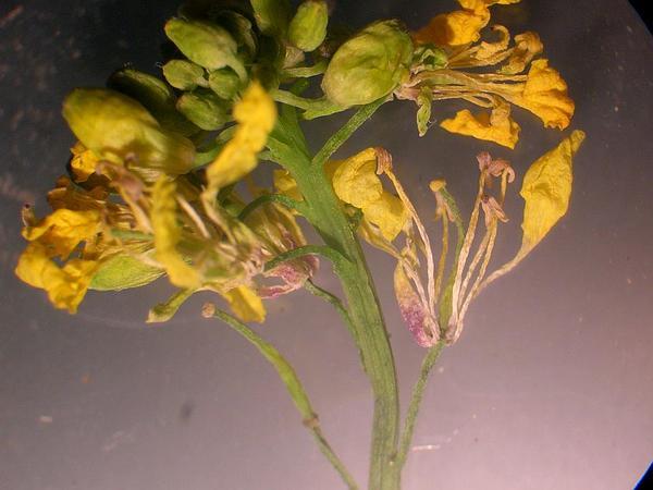 Black Mustard (Brassica Nigra) https://www.sagebud.com/black-mustard-brassica-nigra