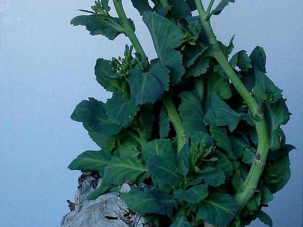 Cabbage (Brassica Oleracea) https://www.sagebud.com/cabbage-brassica-oleracea