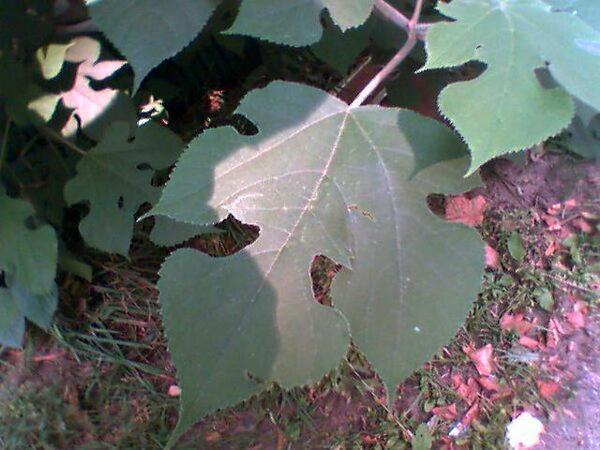Broussonetia (Broussonetia) https://www.sagebud.com/broussonetia-broussonetia