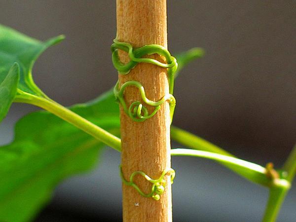 American Buckwheat Vine (Brunnichia Ovata) https://www.sagebud.com/american-buckwheat-vine-brunnichia-ovata