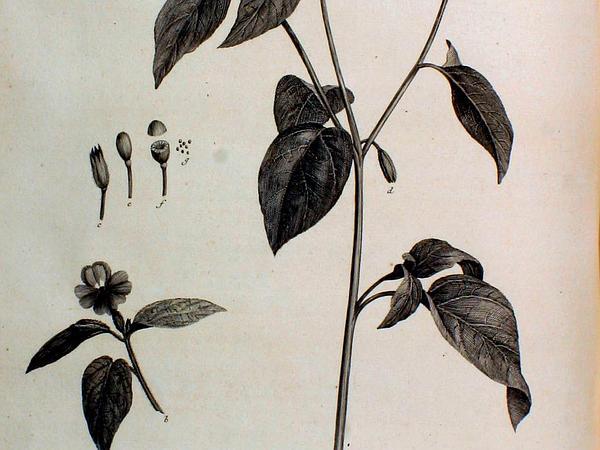 Browallia (Browallia) https://www.sagebud.com/browallia-browallia/