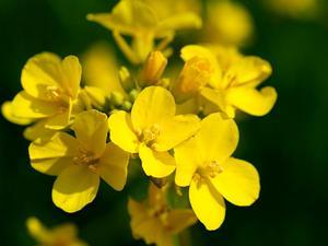 Field Mustard