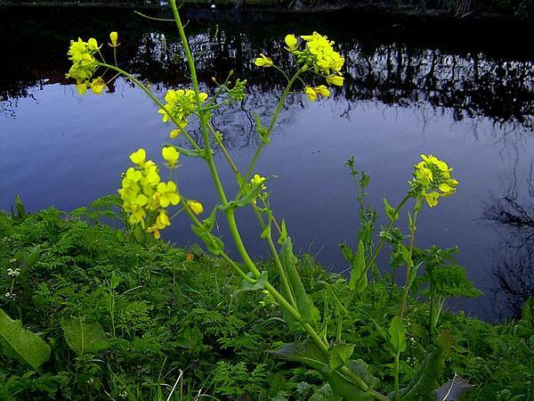 Field Mustard (Brassica Rapa) https://www.sagebud.com/field-mustard-brassica-rapa/