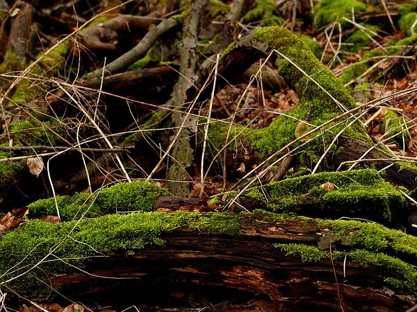 Brachythecium Moss (Brachythecium Rutabulum) https://www.sagebud.com/brachythecium-moss-brachythecium-rutabulum