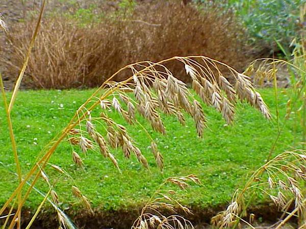 Rye Brome (Bromus Secalinus) https://www.sagebud.com/rye-brome-bromus-secalinus/