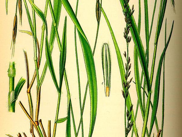 Slender False Brome (Brachypodium Sylvaticum) https://www.sagebud.com/slender-false-brome-brachypodium-sylvaticum