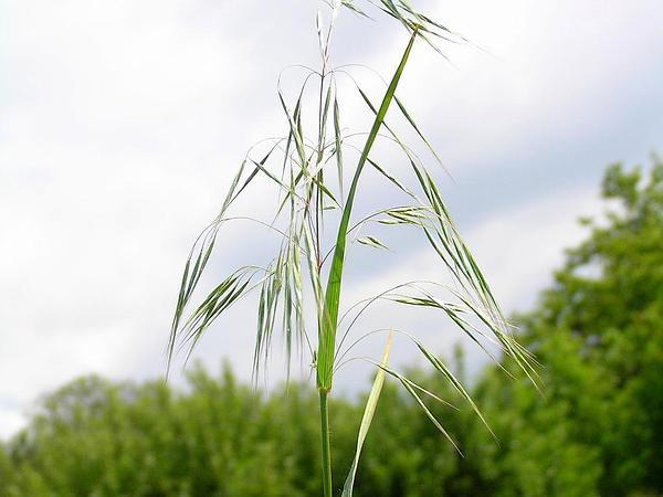 Cheatgrass (Bromus Tectorum) https://www.sagebud.com/cheatgrass-bromus-tectorum