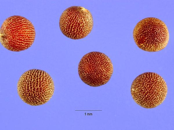 Asian Mustard (Brassica Tournefortii) https://www.sagebud.com/asian-mustard-brassica-tournefortii