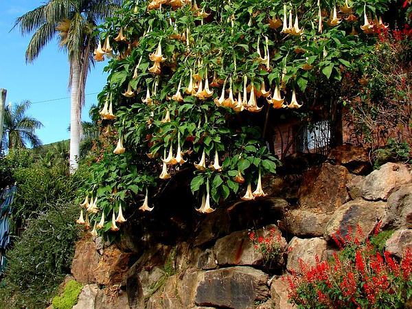 Arborescent Angel's-Tears (Brugmansia Versicolor) https://www.sagebud.com/arborescent-angels-tears-brugmansia-versicolor