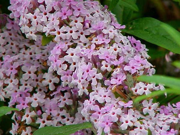 Fountain Butterflybush (Buddleja Alternifolia) https://www.sagebud.com/fountain-butterflybush-buddleja-alternifolia