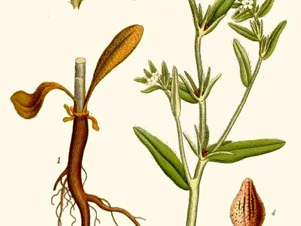 Corn Gromwell (Buglossoides Arvensis) https://www.sagebud.com/corn-gromwell-buglossoides-arvensis/
