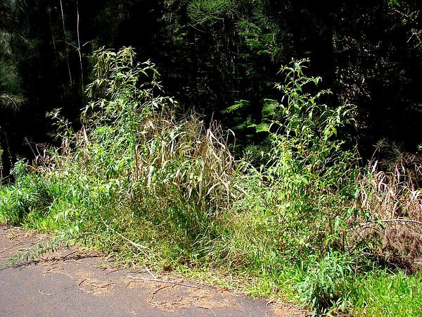 Dogtail (Buddleja Asiatica) https://www.sagebud.com/dogtail-buddleja-asiatica