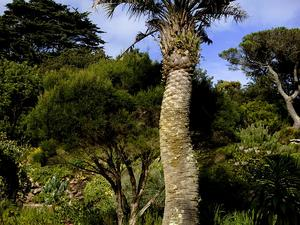 South American Jelly Palm