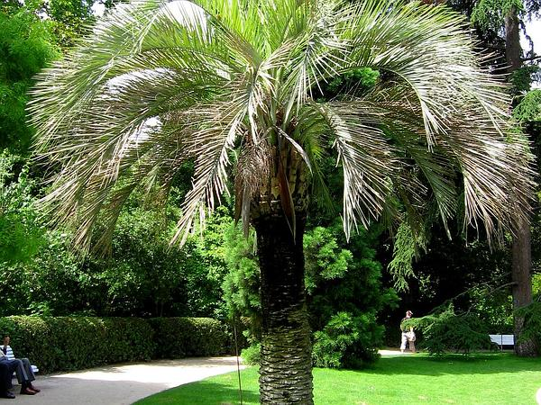South American Jelly Palm (Butia Capitata) https://www.sagebud.com/south-american-jelly-palm-butia-capitata