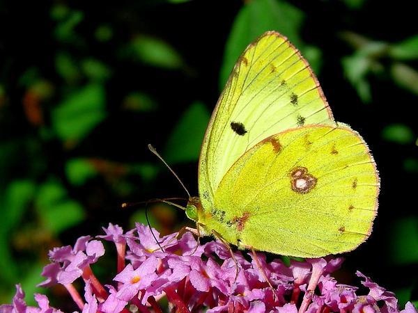 Orange Eye Butterflybush (Buddleja Davidii) https://www.sagebud.com/orange-eye-butterflybush-buddleja-davidii