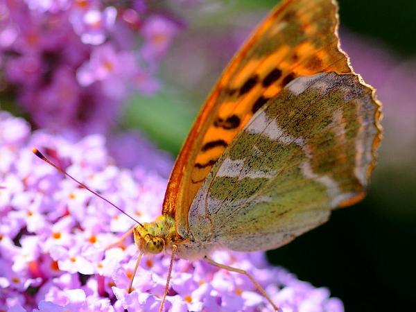 Orange Eye Butterflybush (Buddleja Davidii) https://www.sagebud.com/orange-eye-butterflybush-buddleja-davidii/