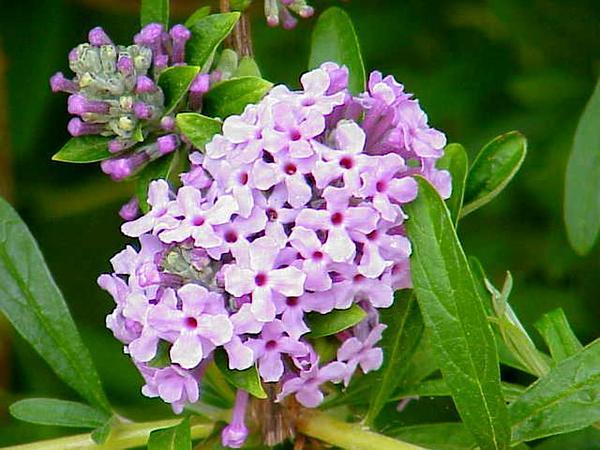 Butterflybush (Buddleja) https://www.sagebud.com/butterflybush-buddleja