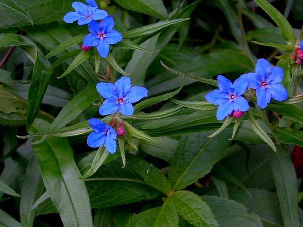 Buglossoides (Buglossoides) https://www.sagebud.com/buglossoides-buglossoides/