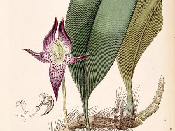 Bulbophyllum (Bulbophyllum) https://www.sagebud.com/bulbophyllum-bulbophyllum