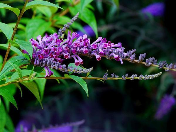Lindley's Butterflybush (Buddleja Lindleyana) https://www.sagebud.com/lindleys-butterflybush-buddleja-lindleyana