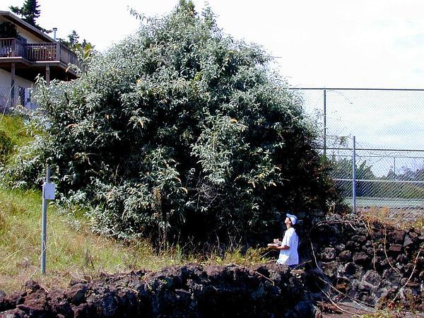 Smokebush (Buddleja Madagascariensis) https://www.sagebud.com/smokebush-buddleja-madagascariensis