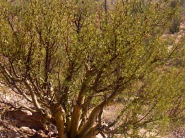 Elephant Tree (Bursera Microphylla) https://www.sagebud.com/elephant-tree-bursera-microphylla