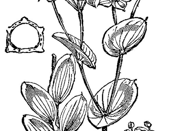 Hare's Ear (Bupleurum Rotundifolium) https://www.sagebud.com/hares-ear-bupleurum-rotundifolium