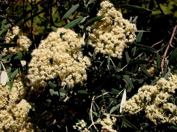 Squarestem Butterflybush (Buddleja Saligna) https://www.sagebud.com/squarestem-butterflybush-buddleja-saligna