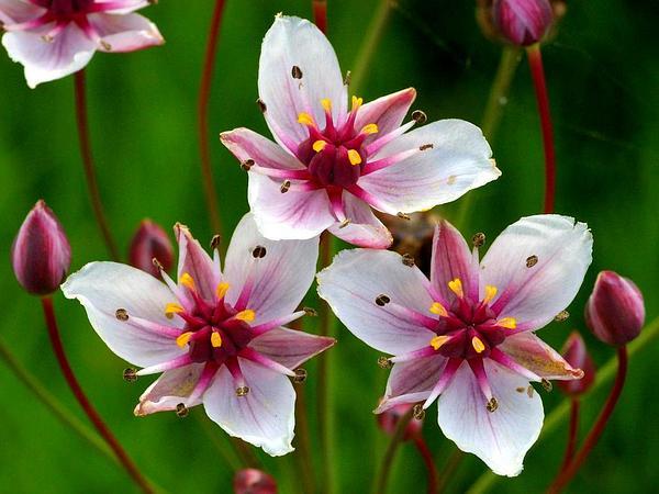 Flowering Rush (Butomus Umbellatus) https://www.sagebud.com/flowering-rush-butomus-umbellatus