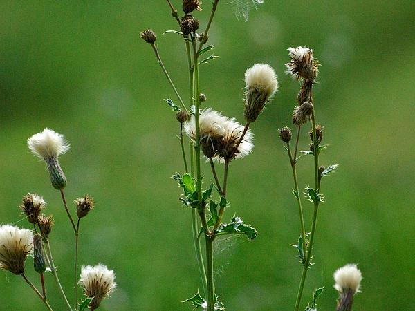 Spiny Plumeless Thistle (Carduus Acanthoides) https://www.sagebud.com/spiny-plumeless-thistle-carduus-acanthoides