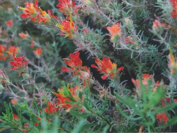 Coast Indian Paintbrush (Castilleja Affinis) https://www.sagebud.com/coast-indian-paintbrush-castilleja-affinis