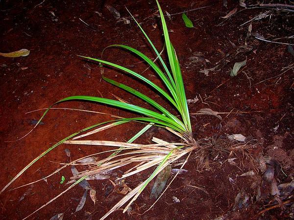 Hawai'I Sedge (Carex Alligata) https://www.sagebud.com/hawaii-sedge-carex-alligata/