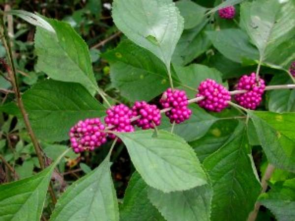 American Beautyberry (Callicarpa Americana) https://www.sagebud.com/american-beautyberry-callicarpa-americana