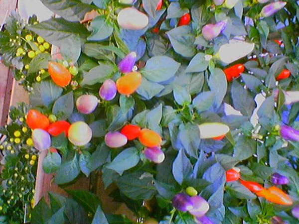 Cayenne Pepper (Capsicum Annuum) https://www.sagebud.com/cayenne-pepper-capsicum-annuum