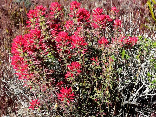 Northwestern Indian Paintbrush (Castilleja Angustifolia) https://www.sagebud.com/northwestern-indian-paintbrush-castilleja-angustifolia