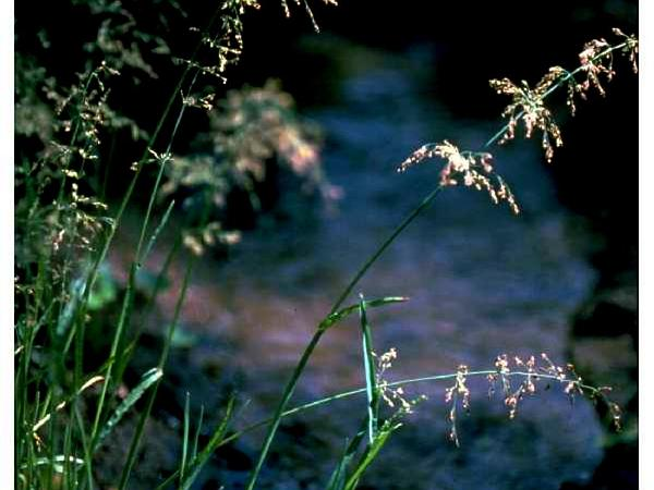 Water Whorlgrass (Catabrosa Aquatica) https://www.sagebud.com/water-whorlgrass-catabrosa-aquatica/