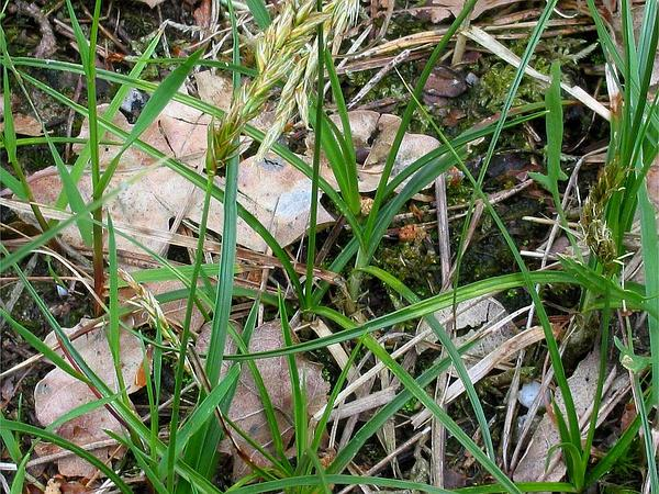 Sand Sedge (Carex Arenaria) https://www.sagebud.com/sand-sedge-carex-arenaria