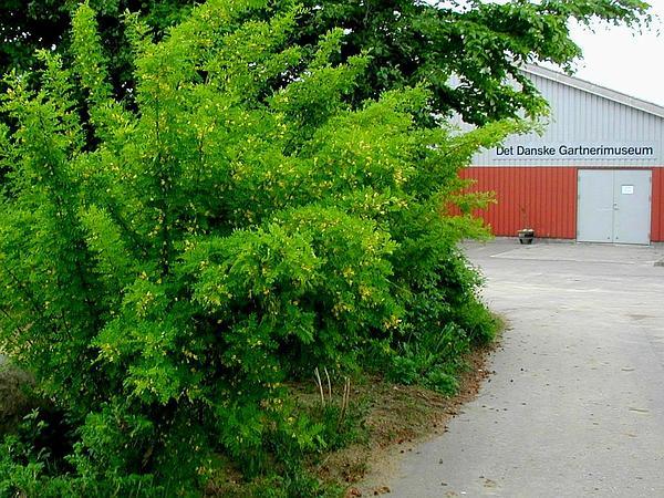 Siberian Peashrub (Caragana Arborescens) https://www.sagebud.com/siberian-peashrub-caragana-arborescens/