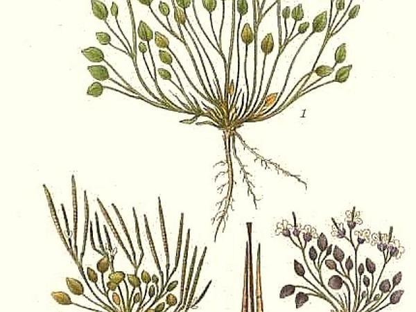 Alpine Bittercress (Cardamine Bellidifolia) https://www.sagebud.com/alpine-bittercress-cardamine-bellidifolia/