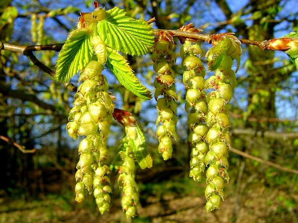 European Hornbeam (Carpinus Betulus) https://www.sagebud.com/european-hornbeam-carpinus-betulus