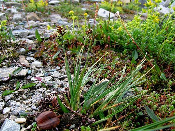 Twocolor Sedge (Carex Bicolor) https://www.sagebud.com/twocolor-sedge-carex-bicolor