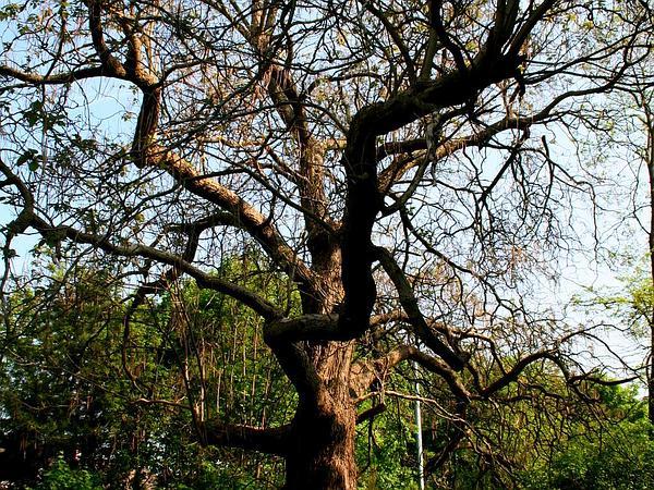 Southern Catalpa (Catalpa Bignonioides) https://www.sagebud.com/southern-catalpa-catalpa-bignonioides