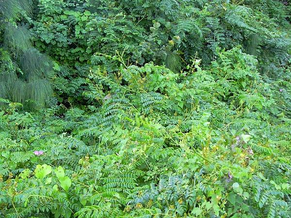 Yellow Nicker (Caesalpinia Bonduc) https://www.sagebud.com/yellow-nicker-caesalpinia-bonduc