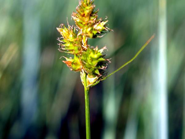 Shortbeak Sedge (Carex Brevior) https://www.sagebud.com/shortbeak-sedge-carex-brevior