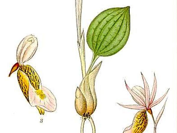 Fairy Slipper (Calypso Bulbosa) https://www.sagebud.com/fairy-slipper-calypso-bulbosa