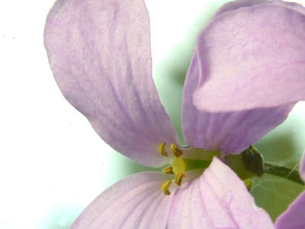 Coralroot Bittercress (Cardamine Bulbifera) https://www.sagebud.com/coralroot-bittercress-cardamine-bulbifera