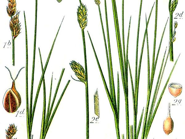 Silvery Sedge (Carex Canescens) https://www.sagebud.com/silvery-sedge-carex-canescens