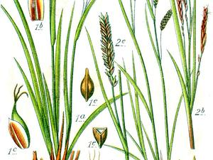 Hair-Like Sedge