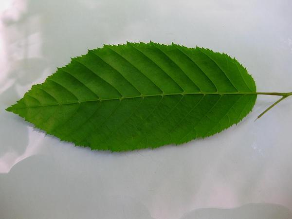 American Hornbeam (Carpinus Caroliniana) https://www.sagebud.com/american-hornbeam-carpinus-caroliniana