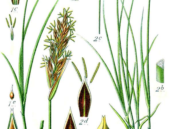Vernal Sedge (Carex Caryophyllea) https://www.sagebud.com/vernal-sedge-carex-caryophyllea